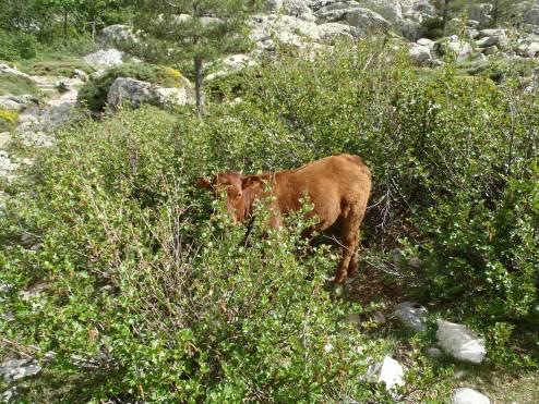 da versteckt sich ein kleiner Stier im Gebüsch
