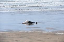leider sehen wir insgesamt auch 3 tote, vermutlich gestrandete Delphine